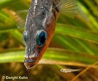 1S74-523z  Threespine Stickleback, Parental Male protecting young, Gasterosteus aculeatus,  Hotel Lake British Columbia