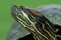 Red-eared Slider, Trachemys scripta elegans, adult, Lake Corpus Christi, Texas, USA