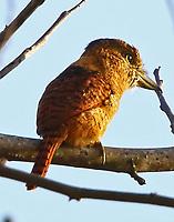 Barred puffbird