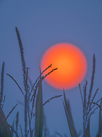 Smoke filled skies from fires in Oregon make the sun appear bright orange, rising over a corn field in Idaho.