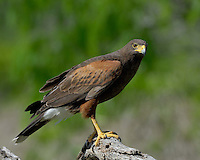 Harris's Hawk, South Texas