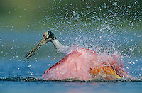 Roseate Spoonbill, Ajaia ajaja, adult bathing, Welder Wildlife Refuge, Sinton, Texas, USA