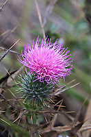 Bull Thistle displays a lovely lavender flower, one surrounded by spines that will draw blood.  Though found in all 50 states, it is an invader displacing other vegetation according to the University of Georgia's invasive.org.  So, look but don't touch, unless, maybe, you have thick gloves and a shovel.