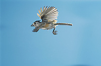 Black-crested Titmouse, Baeolophus atricristatus,adult in flight, Willacy County, Rio Grande Valley, Texas, USA, May 2004