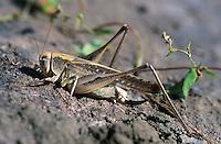 Beißschrecke, Beissschrecke, Beisschrecke, Weibchen, Platycleis intermedia, bush cricket, bush-cricket, female, Decticelle intermédiaire