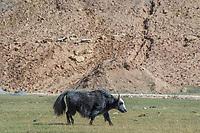 Mongolia, Bayan-Ulgii, Ulgii, Altai Mountains. Grazing yak.