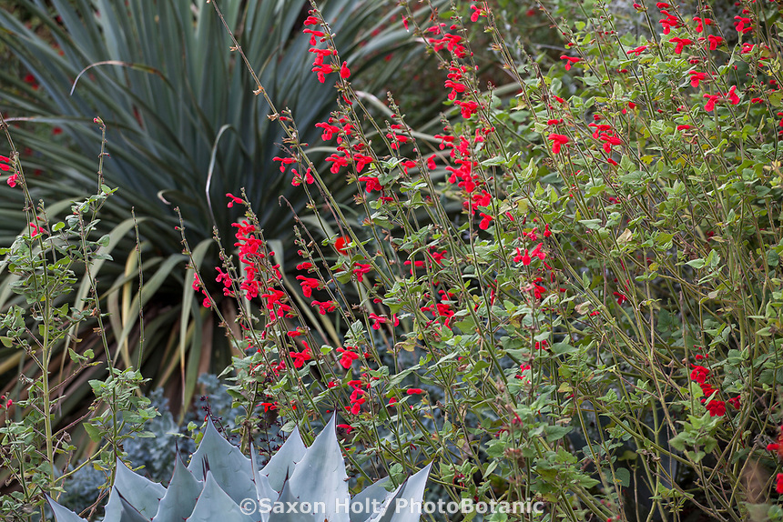Salvia darcyi, Galeana Red Mexican Sage, red flowering perennial in  Kuzma Garden with Nolina nelsonii Blue Nolina. Photo MUST be credited as Design by Sean Hogan.