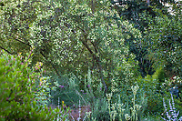 Lomatia myricoides (River Lomatia) flowering shrub in Shelagh Tucker garden, Seattle, Washington