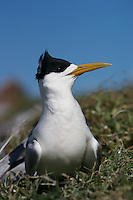 Crested Tern on the Five Islands at the New South Wales South Coast and Coastal Island bird surveys