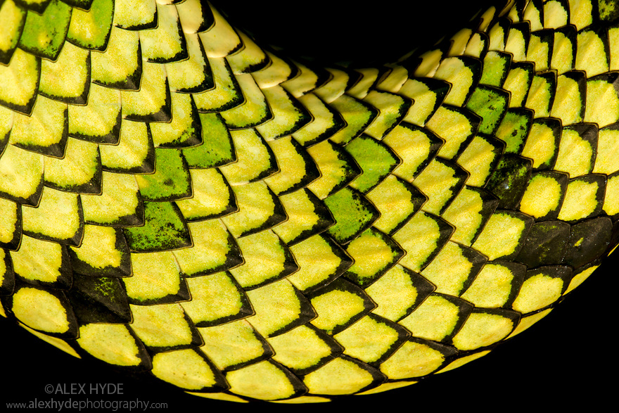 Sumatran Pitviper (Trimeresurus sumatranus), detail of scales. Danum Valley, Sabah, Borneo. June.
