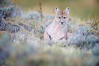 We saw him last year as a cub - hanging out with his mother and his brother and sister. This wild Puma (Puma concolor) is much bigger now, and on his own. Looks very healthy but a bit lazy lol. Apparently he tends to share his sister's kills.