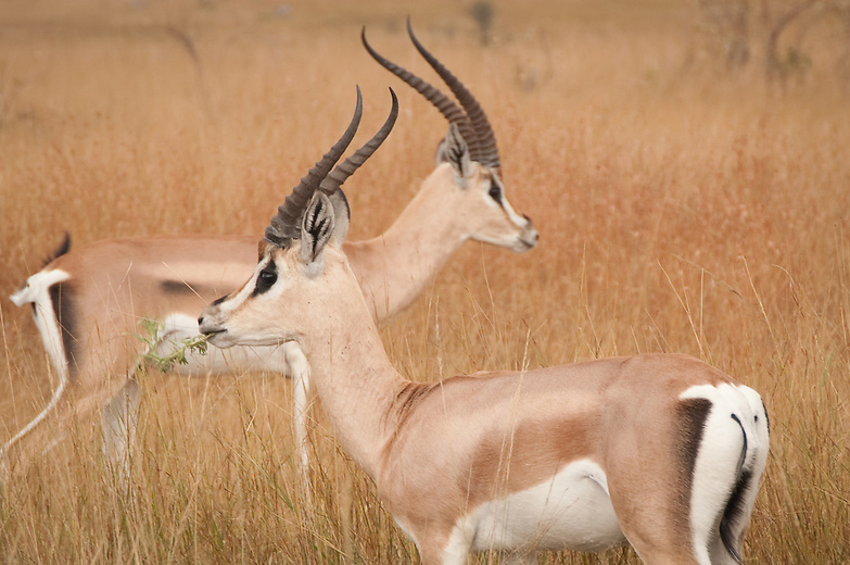 Grant's gazelles (Nanger granti) are easily distinguished by the broad white patch on the rump that extends upward, beyond the tail and onto the back. Some varieties of Grant's have a black stripe on each side of the body like the Thomson's gazelle; in others the stripe is very light or absent. A black stripe runs down the thigh.