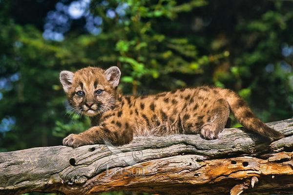 Young Mountain Lion or cougar cub (Felis concolor)