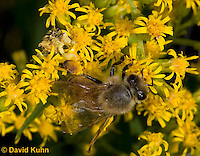 "1210-0905  Camouflaged Ambush Bug (Phymata spp.) Adult on Goldenrod Hunting and Grabbing a Honeybee (Apis mellifera) ""Virginia""  © David Kuhn/Dwight Kuhn Photography"