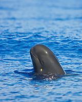 Short-finned pilot whale spyhopping, Globicephala macrorhynchus, note healing cookiecutter shark (cookie cutter shark) wound on cheek, Isistius brasiliensis, off Kona, Big Island, Hawaii, Pacific Ocean
