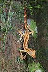 Lined Leaf-tailed Gecko (Uroplatus lineatus) on tree trunk. Masoala National Park, north east Madagascar.