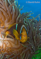 0320-1105  Clark's anemonefish (Yellowtail clownfish), Amphiprion clarkii, with Bulb-tipped Anemone, Entacmaea quadricolor  © David Kuhn/Dwight Kuhn Photography.