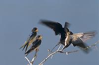 Barn Swallow, Hirundo rustica, female feeding newly fledged young, Lake Corpus Christi, Texas, USA