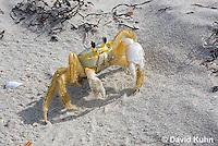 0604-0904  Ghost Crab (Sand Crab) on Beach at Outer Banks in North Carolina, Ocypode quadrata  © David Kuhn/Dwight Kuhn Photography