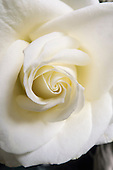 Bedfordshire, England. Close-up of a white rose flower.