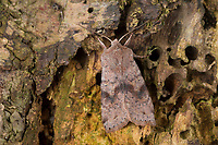 Variable Kätzcheneule, Violettgraue Frühlingseule, Orthosia incerta, Monima incerta, Taeniocampa incerta, Clouded Drab, L'Orthosie variable, Eulenfalter, Noctuidae, noctuid moths, noctuid moth