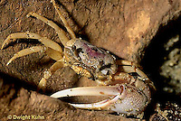 1Y43-006z  Sand Fiddler Crab - male with large claw on beach - Uca pugilator