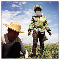 Farmers weed a cotton field in China's western Xinjiang Province.