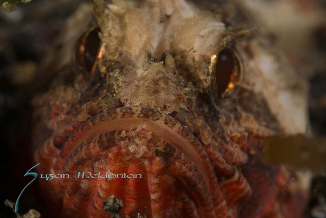 Painted Stingfish 10-16-17-762, Minous pictus