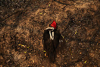 A woodpecker killed as a result of a forest fire that swept through the Santa Tereza farm in the Pantanal of Mato Grosso do Sul. The flames destroyed more than 60% of the 63,000 hectare property which is dedicated to livestock and environmental preservation.
