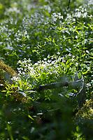 Bitteres-Schaumkraut-Ernte, Kräuterernte, Kräuter sammeln, Korb, Sammelkorb, Bitteres Schaumkraut, Bitter-Schaumkraut, Falsche Brunnenkresse, Bitter-Schaumkraut, Bitterkresse, Wildkresse, Wild-Kresse, Wilde Kresse, Kressen-Schaumkraut, Cardamine amara, Large Bitter-cress, Large Bittercress, La Cardamine amère