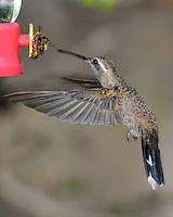 Hummingbird, Southeastern Arizona