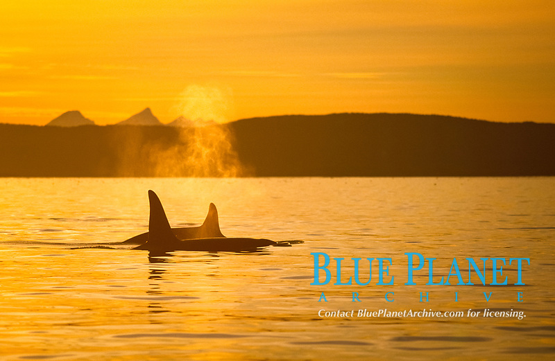 orca or killer whale, Orcinus orca, Pair surfacing in golden sunset , Vestfjord, Arctic Norway, North Atlantic