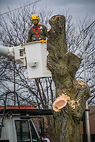 Worker pulls his bucket away from a tree after removing all the branches.