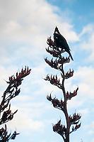 Native bird TUI at Marahau on Abel Tasman Coastal Track, Abel Tasman NP, Nelson Region, New Zealand