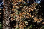 Monarch Butterflies congregate on the fir trees of Michoacan, Mexico.