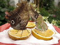 BOGOTÁ-COLOMBIA-15-01-2013. Mariposa Caligo Memnom (mariposa buho) y la mariposa Siproeta Stellenes (mariposa malaquita). Butterfly Caligo Memnom or butterfly Buho. Butterfly Siproeta Stellenes, or butterfly Malaquita. (Photo:VizzorImage)
