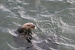 sea otter eating shellfish