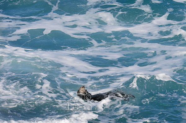 Sea Otter (Enhydra lutris) in open ocean.