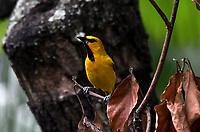 CALI - COLOMBIA - 09 - 02 - 2018: Turpial Amarillo (Icterus Nigrogularis) especie de ave en Cali, en el Departamento del Valle del Cauca. / Turpial Amarillo (Icterus Nigrogularis) a bird species in Cali, in the Department of Valle del Cauca. / Photo: VizzorImage / Luis Ramirez / Staff.