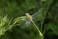 333920023 a wild teneral male brimstone clubtail stylurus intricatusperches on a plant stem near the drew road canal west of el centro imperial county california