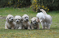 BNPS.co.uk (01202 558833)<br /> Pic: ZacharyCulpin/BNPS<br /> <br /> Pictured:  A new litter of Dandie Dinmont Terriers, only 87 puppies were born last year. <br /> <br /> Has this breed of dog had its day?<br /> <br /> There are fears the otterhound, Britain's rarest breed of dog, is on the verge of extinction after just seven puppies were born last year.<br /> <br /> While the coronavirus lockdowns sparked record sales of puppies like Labradors and French Bulldogs, the same can not be said for some traditional British species.<br /> <br /> Chief among them is the otterhound, one of Britain's oldest breeds that dates back to the 12th century.