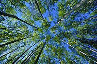 Fresh green leaves emerge from the birch trees in springtime, Fairbanks, Alaska