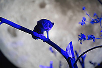 BNPS.co.uk (01202 558833)<br /> Picture: ZacharyCulpin/BNPS<br /> <br /> Pictured: The Loris is pictured under the replica of the moon at Longleat. <br /> <br /> A slender loris can be seen stargazing as part of a new attraction at a British safari park showing off its nocturnal animals.<br /> <br /> The tiny 10ins long, 275 grams primate, which is native to India, has huge brown eyes to hunt insects in the dark.<br /> <br /> The creatures, which spend most of their lives in trees but can't jump, are endangered in the wild due to a loss of habitat and poaching.<br /> <br /> Longleat Safari Park in Wilts is looking after a male and female of the species in an indoor enclosure set against the backdrop of a 20ft suspended replica of the moon by UK artist Luke Jerram.