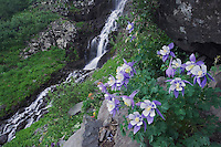 Waterfall and wildflowers in rock ledge,Blue Columbine,Colorado Columbine,Aquilegia coerulea, Ouray, San Juan Mountains, Rocky Mountains, Colorado, USA