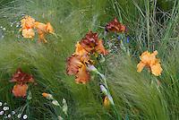 Irises Bearded Orange with ornamental perennials grasses