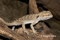 1R15-511z  Bearded Dragon, Popona vitticeps, Amphibolorus vitticeps