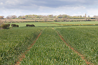 7.5.2021 Winter Barley <br /> ©Tim Scrivener Photographer 07850 303986<br />      ....Covering Agriculture In The UK....