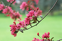 Flowering branch of pink Crabapple tree, Malus 'Liset' in San Francisco Botanical Garden