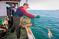 lobster fisherman throwing back a cod caught in trap as bycatch, Nova Scotia, Canada, Bay of Fundy, Gulf of Maine, Atlantic Ocean, MR