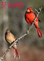"""Male/female Cardinals in the morning """"love"""" light :)"""